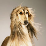 Close-up of an Afghan dog